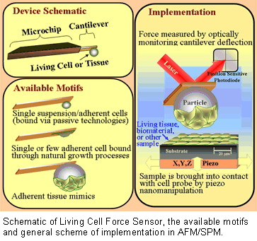 Schematic of Living Cell Force Sensor, the available motifs and general scheme of implementation in AFM/SPM.